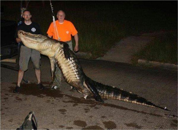 chris alligator.jpg