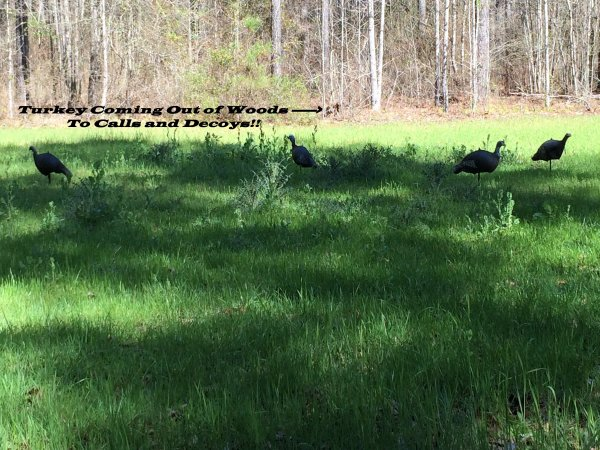 turkey-coming-to-call-and-decoys-jpg.748234