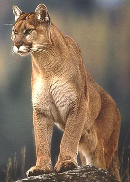 Cougars in georgia