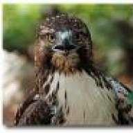 Treehawk